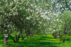 Blooming apple trees in the garden Royalty Free Stock Photo