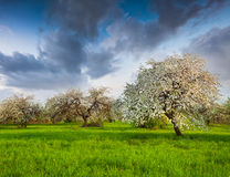 Blooming apple trees in garden Stock Photo