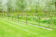 Blooming apple trees and green grass Royalty Free Stock Images