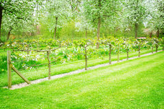 Blooming apple trees and green grass Royalty Free Stock Image
