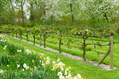 Blooming apple trees and green grass Royalty Free Stock Photography