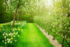 Blooming apple trees and green grass Royalty Free Stock Photo