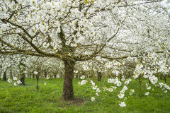 Blooming apple trees Stock Image