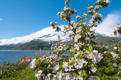 The blooming apple trees in Hardanger. The blooming apple trees in May in Hardanger, Norway with mountains on backgound royalty free stock photography