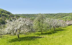 Blooming apple trees Royalty Free Stock Photography