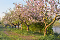 Blooming apple trees Stock Photography