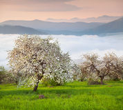 Blooming apple trees in the mountains at spring Royalty Free Stock Photo