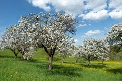 Blooming apple trees in an orchard. With flower meadow under blue and white sky Stock Photography