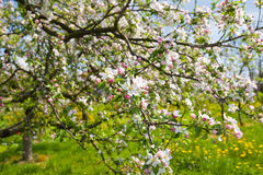 Blooming apple trees Royalty Free Stock Photo