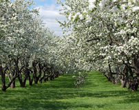 Blooming apple trees Stock Photos