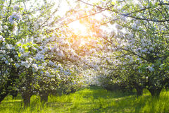 Blooming apple trees at spring Royalty Free Stock Images