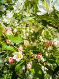 Blooming apple trees in spring sunny day stock photo