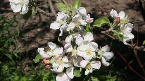 Bees fly over blossoming apple tree flowers. Blooming apple trees. A strong wind stock footage