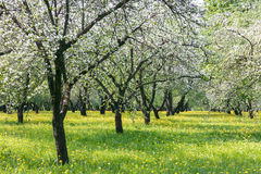 Blooming apple trees in sunny day. fruit orchard in spring. Stock Image