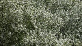 Blooming apple trees on the wind. Many white flowers and green leaves moving. Beautiful natural background. Look from above on garden in spring sunny day stock footage