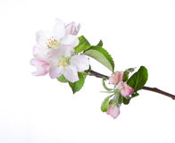 Blooming apple twig Royalty Free Stock Photography