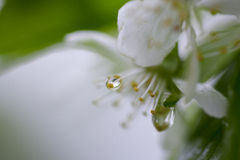 Blooming apple twig covered by water drops Royalty Free Stock Photography
