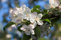Blooming apple twig royalty free stock images