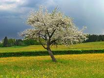 Blooming appletree in a buttercup meadow, stormine Royalty Free Stock Image