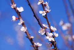 Blooming appletrees. Stock Photography