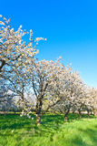 Blooming appletrees in springtime Royalty Free Stock Images