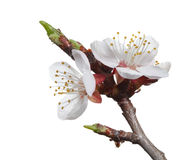 Blooming apricot stock image