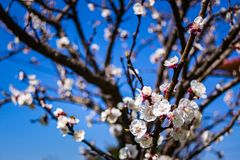 Blooming apricot . Blooming apricot on blue sky background Royalty Free Stock Image