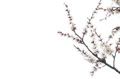 Blooming apricot branches Royalty Free Stock Images