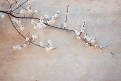 Blooming apricot and concrete wall Royalty Free Stock Images