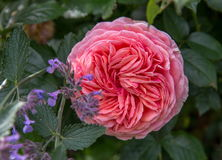 Blooming apricot English rose in the garden on a sunny day. David Austin Rose Stock Images