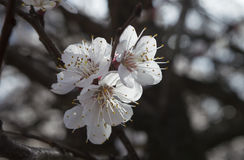 Blooming. Apricot flower blooming in spring Royalty Free Stock Photos