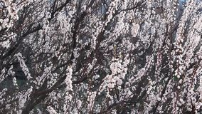 Blooming apricot fruit tree branch with beautiful flowers. Spring stock video