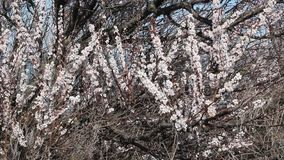 Blooming apricot fruit tree branch with beautiful flowers. Spring stock footage