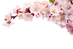 Blooming apricot. Isolated on white background Stock Photos
