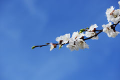 Blooming apricot-tree Royalty Free Stock Photography