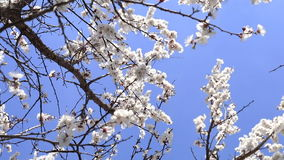 Blooming apricot tree on blue sky background stock video footage
