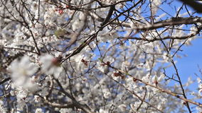 Blooming apricot tree on blue sky background stock video