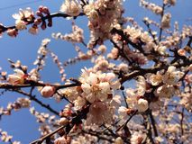 Blooming Apricot tree on the blue sky Royalty Free Stock Photos