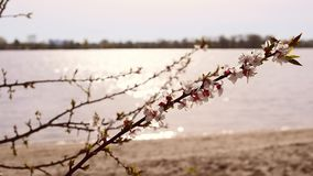 Blooming apricot tree branch on background of shimmering water. Blossoming apricot fruit tree branch with beautiful flowers stirred by breeze in spring on stock video