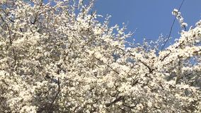 Blooming apricot tree branches swaying on the wind. Springtime trees in white flowers stock footage