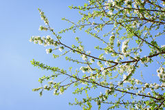 Blooming apricot tree flowers against blue sky Royalty Free Stock Image