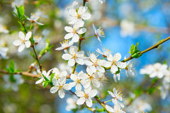 Blooming apricot tree flowers Stock Photography