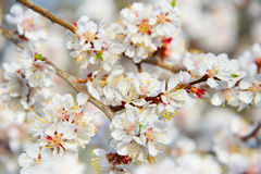 Blooming apricot tree Royalty Free Stock Images