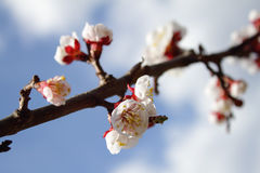 Blooming apricot tree over sky Royalty Free Stock Photo