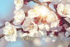 Blooming apricot tree. In the spring stock images