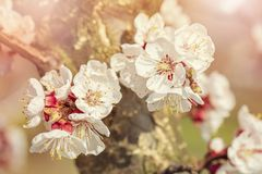 Blooming apricot tree. In the spring royalty free stock image
