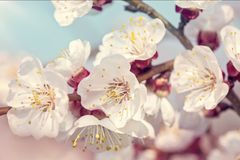 Blooming apricot tree. In the spring royalty free stock photo