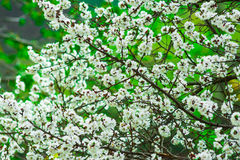 Blooming apricot tree white flowers and buds, green foliage background, springtime, calmness, freshness. Close up Royalty Free Stock Image