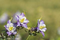 Blooming Aquilegia Stock Image