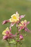 Blooming Aquilegia Royalty Free Stock Photo